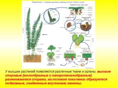 У высших растений появляются различные ткани и органы, высшие споровые (мохоо...