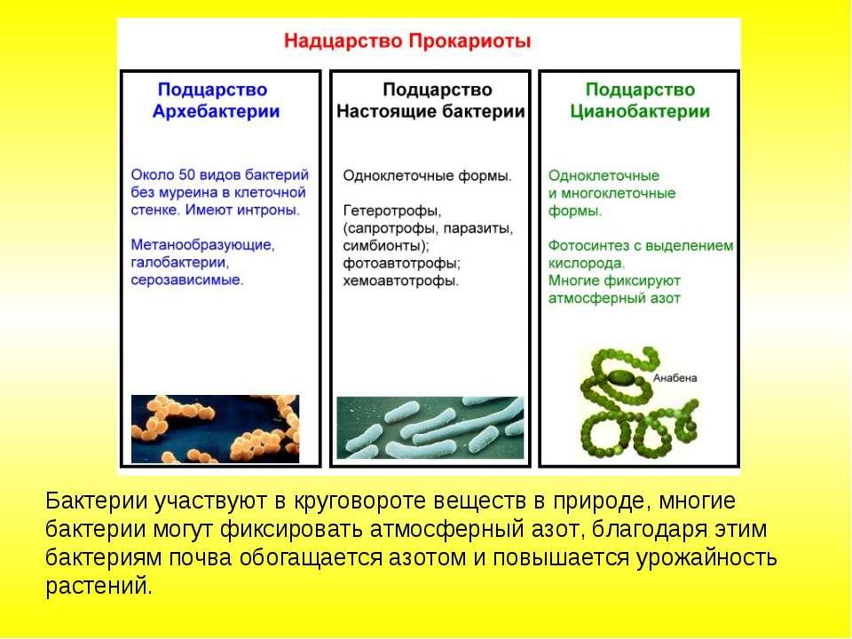 Бактерии участвуют в круговороте веществ в природе, многие бактерии могут фик...