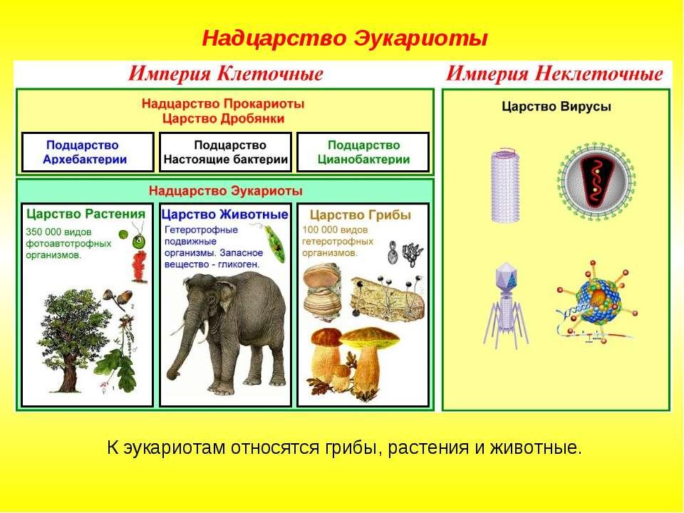 К эукариотам относятся грибы, растения и животные. Надцарство Эукариоты