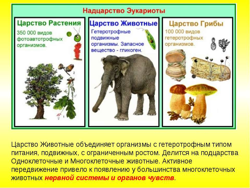 Царство Животные объединяет организмы с гетеротрофным типом питания, подвижны...