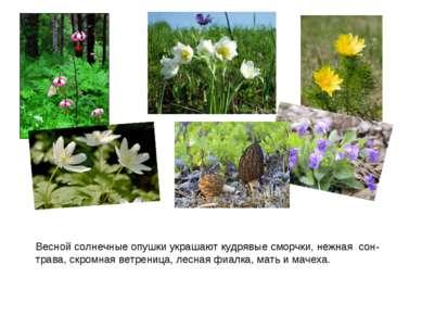 Весной солнечные опушки украшают кудрявые сморчки, нежная сон-трава, скромная...