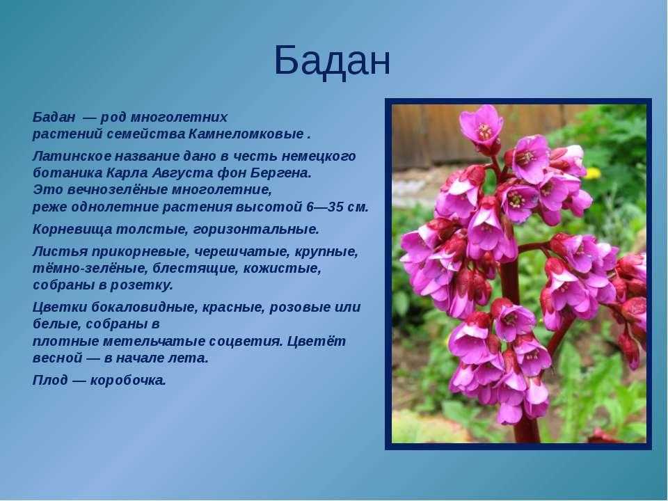 Бадан Бадан—родмноголетних растенийсемействаКамнеломковые. Латинское н...