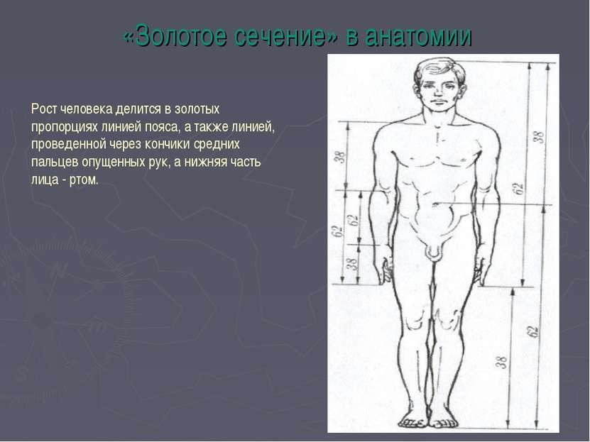 «Золотое сечение» в анатомии Рост человека делится в золотых пропорциях линие...