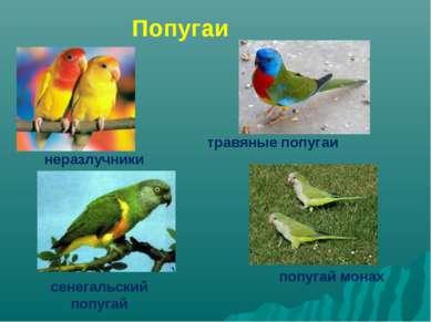 неразлучники травяные попугаи сенегальский попугай попугай монах Попугаи