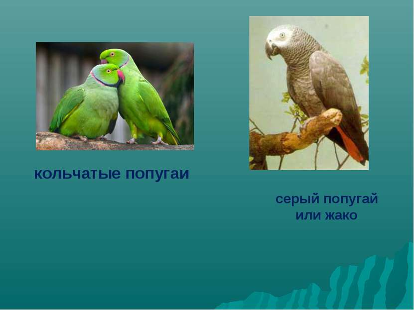 кольчатые попугаи серый попугай или жако
