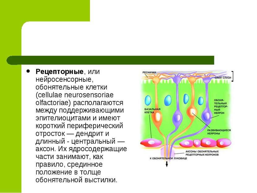 Рецепторные, или нейросенсорные, обонятельные клетки (cellulae neurosensoriae...