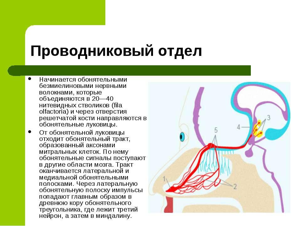 Проводниковый отдел Начинается обонятельными безмиелиновыми нервными волокнам...
