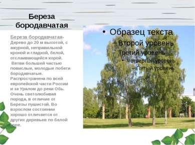 Береза бородавчатая Береза бородавчатая-Дерево до 20 м высотой, с ажурной, не...