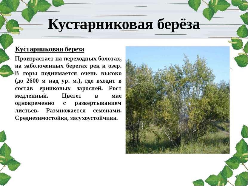 Кустарниковая берёза Кустарниковая береза Произрастает на переходных болотах,...