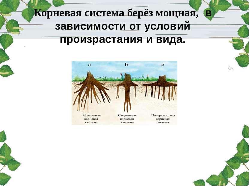 Корневая система берёз мощная, в зависимости от условий произрастания и вида.
