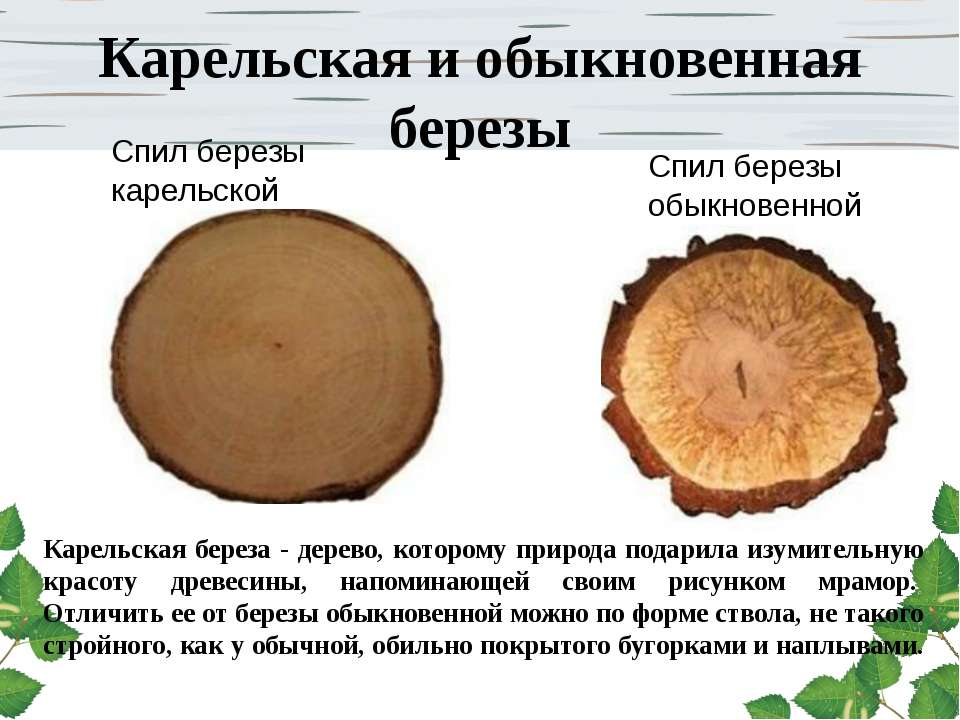 Карельская и обыкновенная березы Карельская береза - дерево, которому природа...
