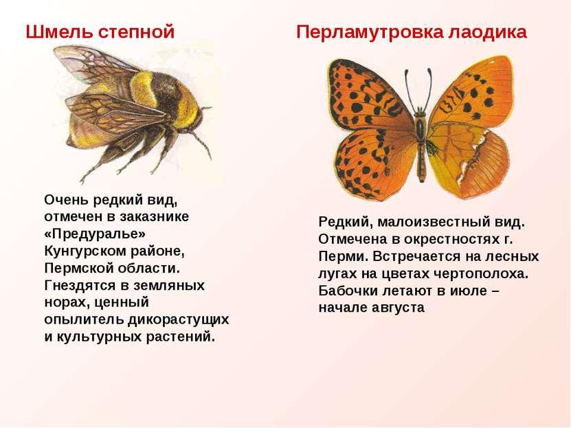 Шмель степной Перламутровка лаодика Очень редкий вид, отмечен в заказнике «Пр...