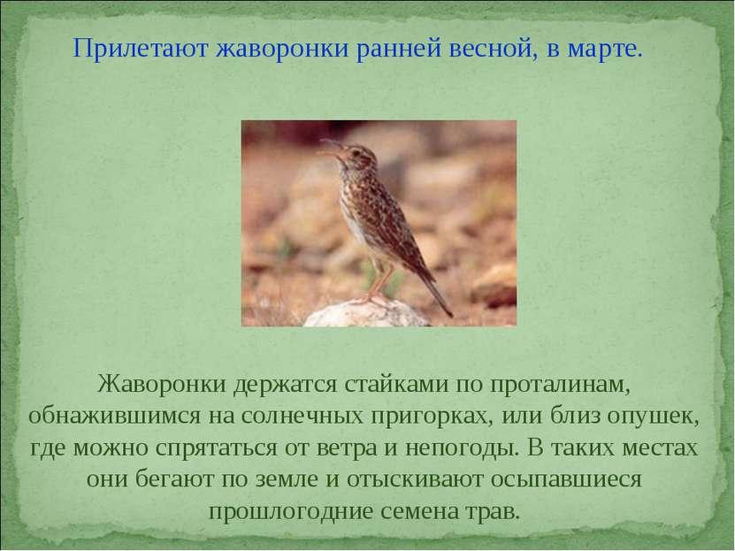 Прилетают жаворонки ранней весной, в марте. Жаворонки держатся стайками по пр...