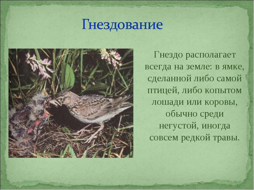 Гнездо располагает всегда на земле: в ямке, сделанной либо самой птицей, либо...