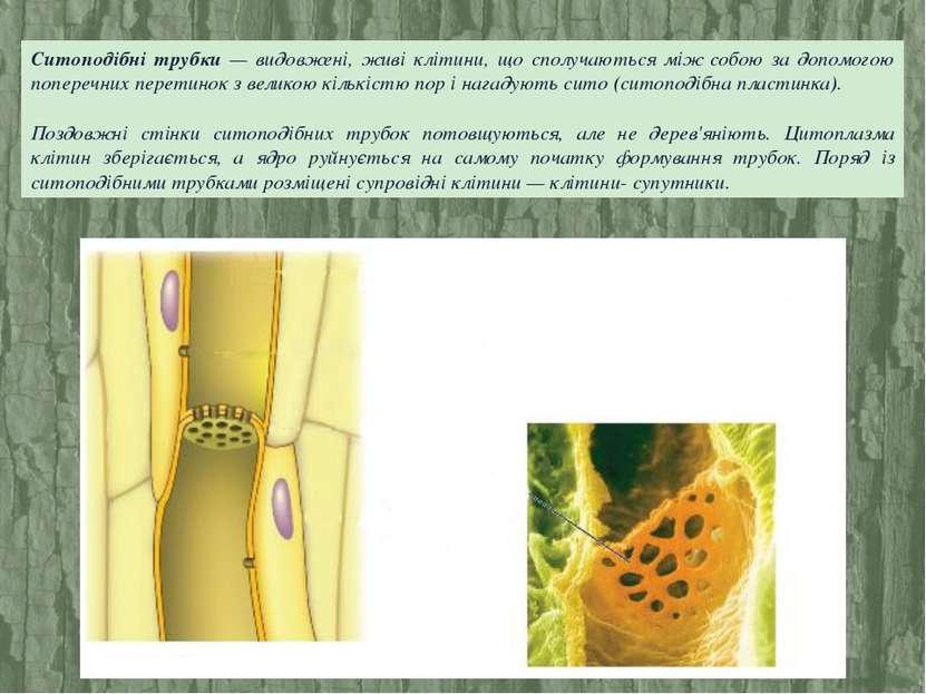 Ситоподібні трубки — видовжені, живі клітини, що сполучаються між собою за до...