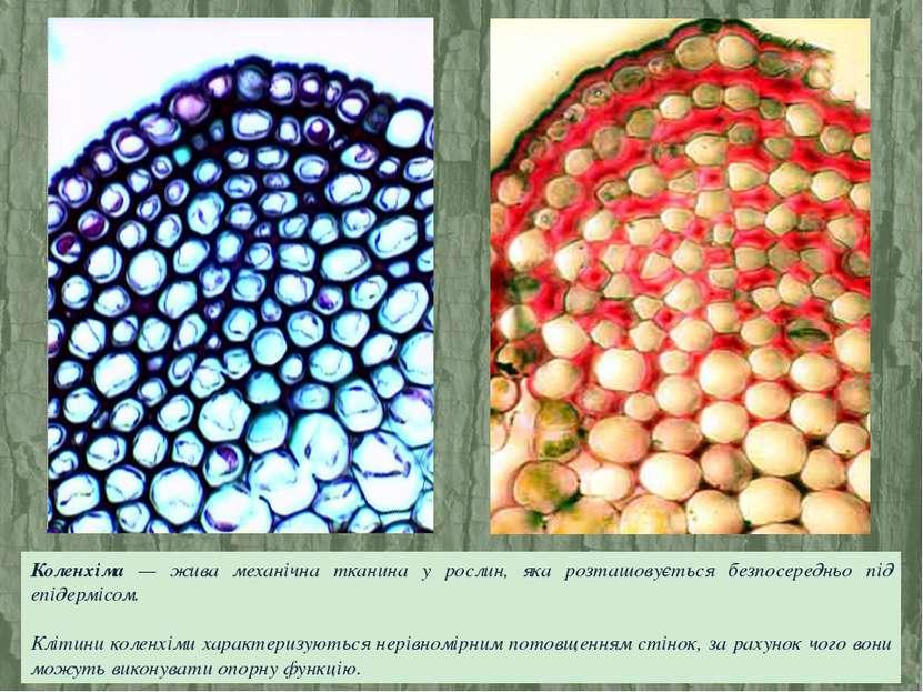 Коленхіма — жива механічна тканина у рослин, яка розташовується безпосередньо...