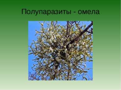 Полупаразиты - омела