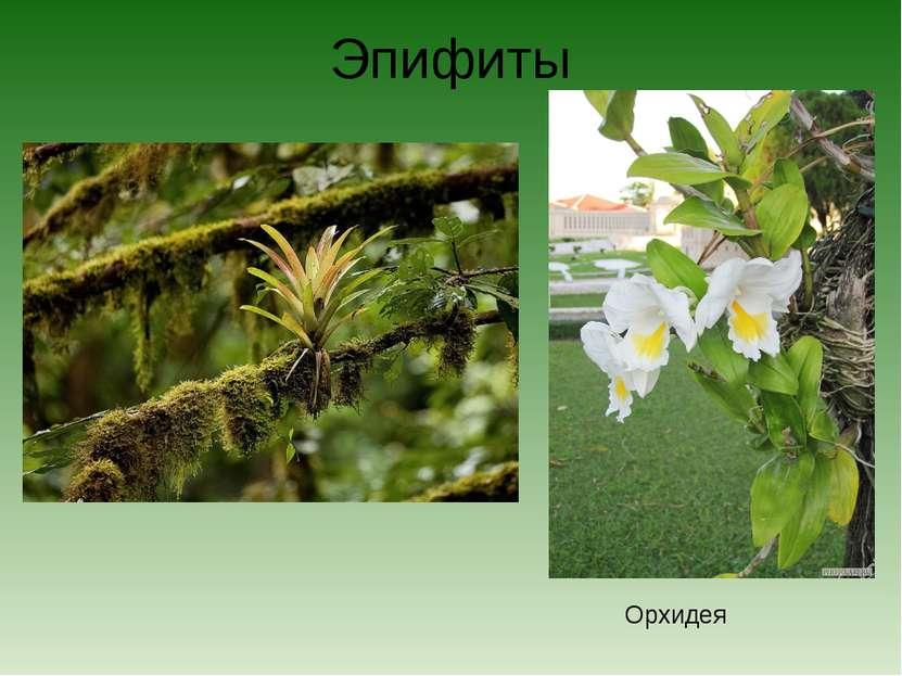 Эпифиты Орхидея