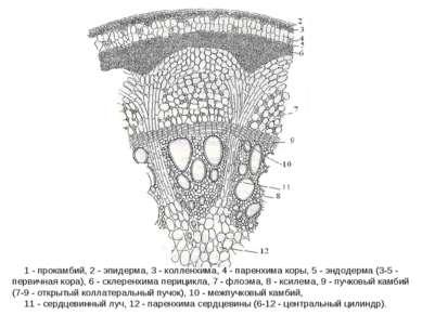 1 - прокамбий, 2 - эпидерма, 3 - колленхима, 4 - паренхима коры, 5 - эндодерм...