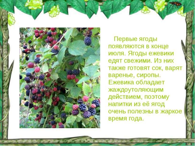 Первые ягоды появляются в конце июля. Ягоды ежевики едят свежими. Из них такж...