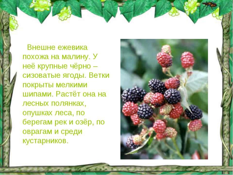 Внешне ежевика похожа на малину. У неё крупные чёрно – сизоватые ягоды. Ветки...