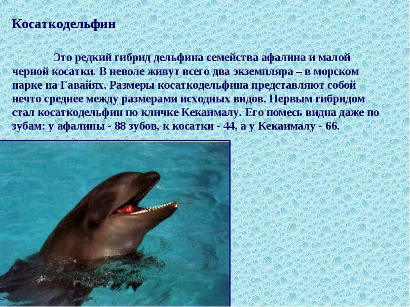 Косаткодельфин Это редкий гибрид дельфина семейства афалина и малой черной ко...