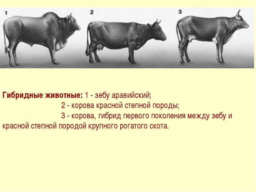 Гибридные животные: 1 - зебу аравийский; 2 - корова красной степной породы; 3...