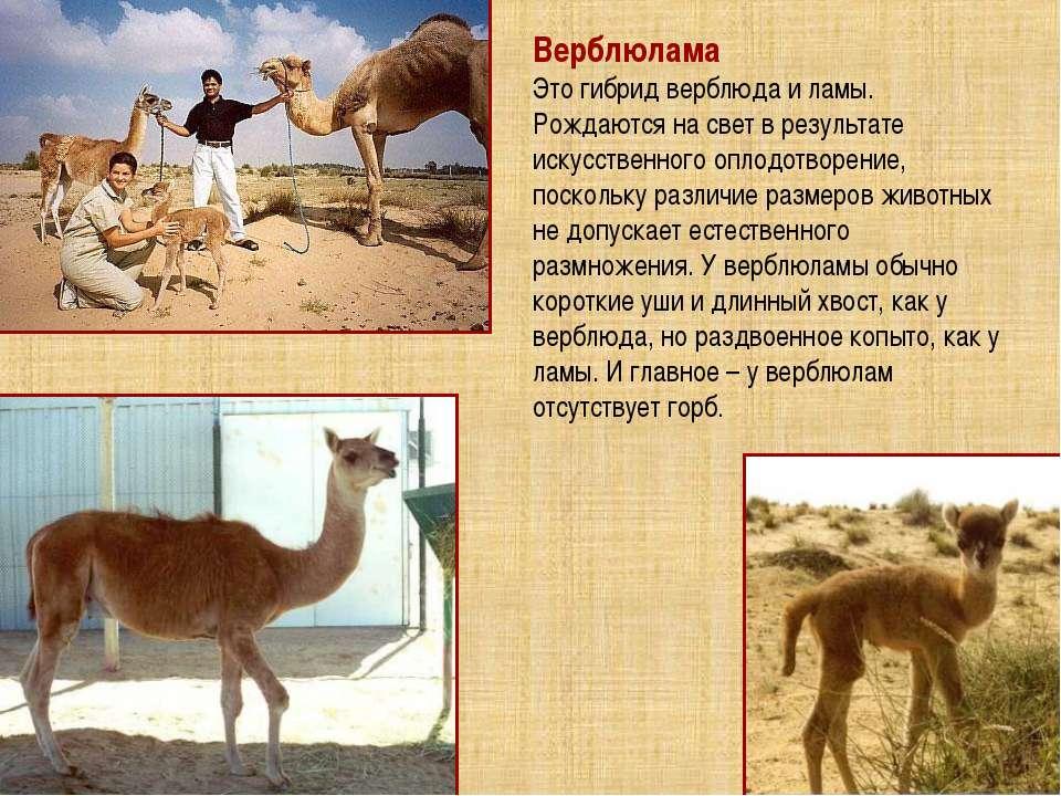 Верблюлама Это гибрид верблюда и ламы. Рождаются на свет в результате искусст...
