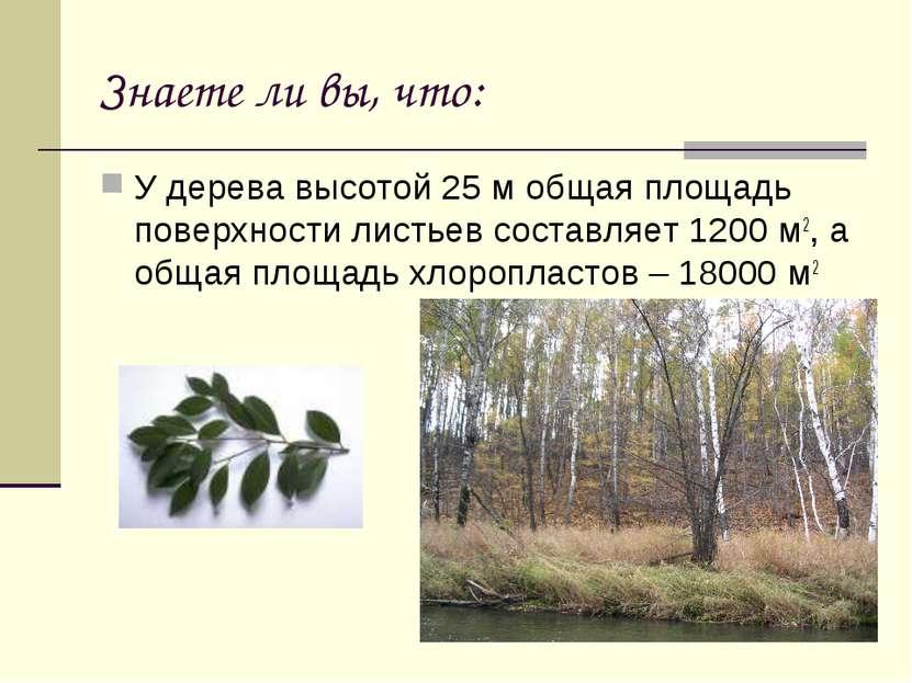 Знаете ли вы, что: У дерева высотой 25 м общая площадь поверхности листьев со...