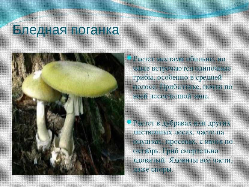 Бледная поганка Растет местами обильно, но чаще встречаются одиночные грибы, ...