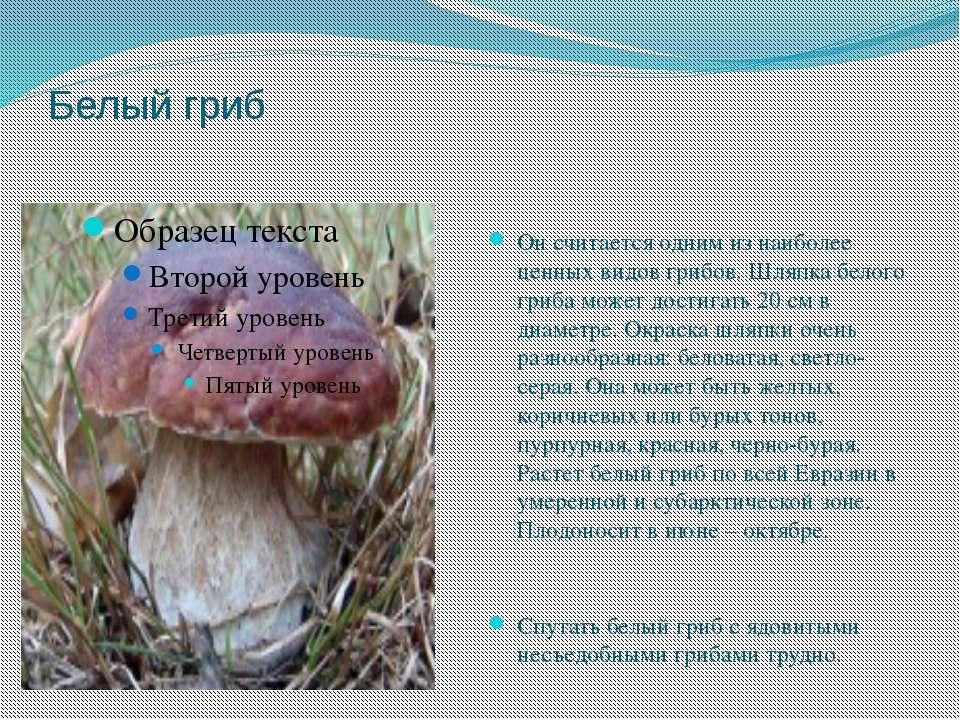 Белый гриб Он считается одним из наиболее ценных видов грибов. Шляпка белого ...