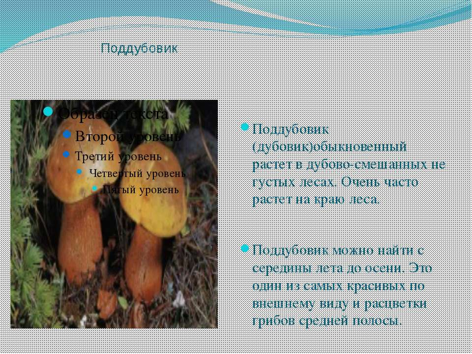 Поддубовик Поддубовик (дубовик)обыкновенный растет в дубово-смешанных не густ...