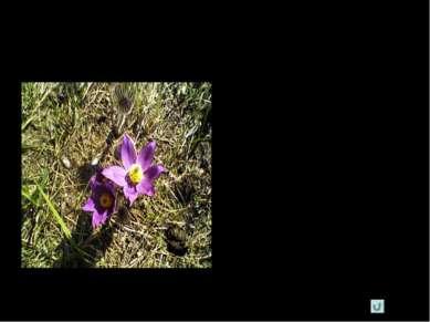 Где растет Сон-трава, прострел раскрытый растет на солнечных склонах холмов, ...