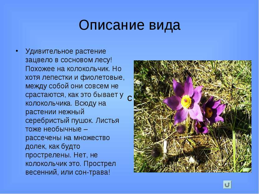 Описание вида Удивительное растение зацвело в сосновом лесу! Похожее на колок...