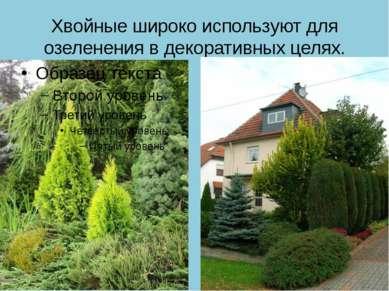 Хвойные широко используют для озеленения в декоративных целях.