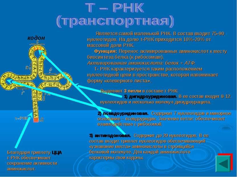 Является самой маленькой РНК. В состав входит 75-90 нуклеотидов. На долю т-РН...