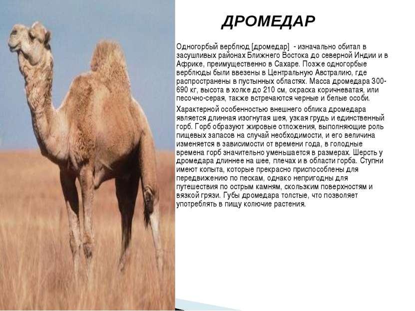 ДРОМЕДАР Одногорбый верблюд [дромедар] - изначально обитал в засушливых район...