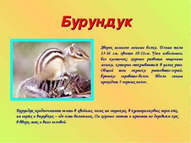 Бурундук Зверек немного меньше белки. Длина тела 13-16 см, хвоста 10-11см. Уш...