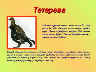Тетерева Довольно крупная птица, масса самца до 1,5кг, самки до 900г. Оперени...