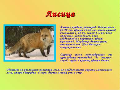 Лисица Хищник средних размеров. Длина тела 60-90 см, хвоста 40-60 см, масса с...