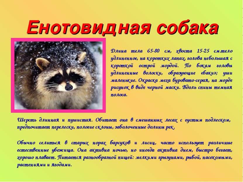 Енотовидная собака Длина тела 65-80 см, хвоста 15-25 см.тело удлиненное, на к...