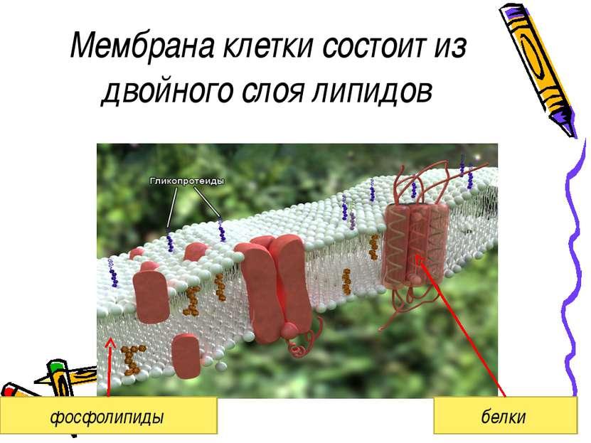 Мембрана клетки состоит из двойного слоя липидов фосфолипиды белки