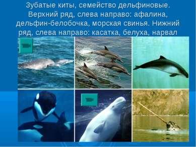 Зубатые киты, семейство дельфиновые. Верхний ряд, слева направо: афалина, дел...