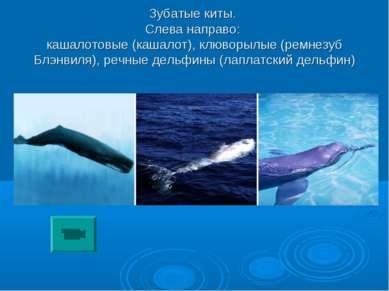 Зубатые киты. Слева направо: кашалотовые (кашалот), клюворылые (ремнезуб Блэн...