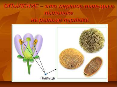 ОПЫЛЕНИЕ – это перенос пыльцы с пыльника на рыльце пестика