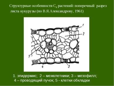 Структурные особенности С4 растений: поперечный разрез листа кукурузы (по В.Я...