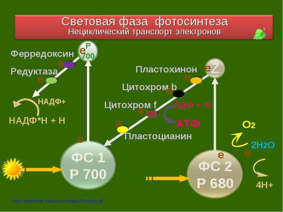 2Н2О О2 4Н+ е Пластохинон Цитохром b АТФ АДФ + Ф Цитохром f Пластоцианин Ферр...