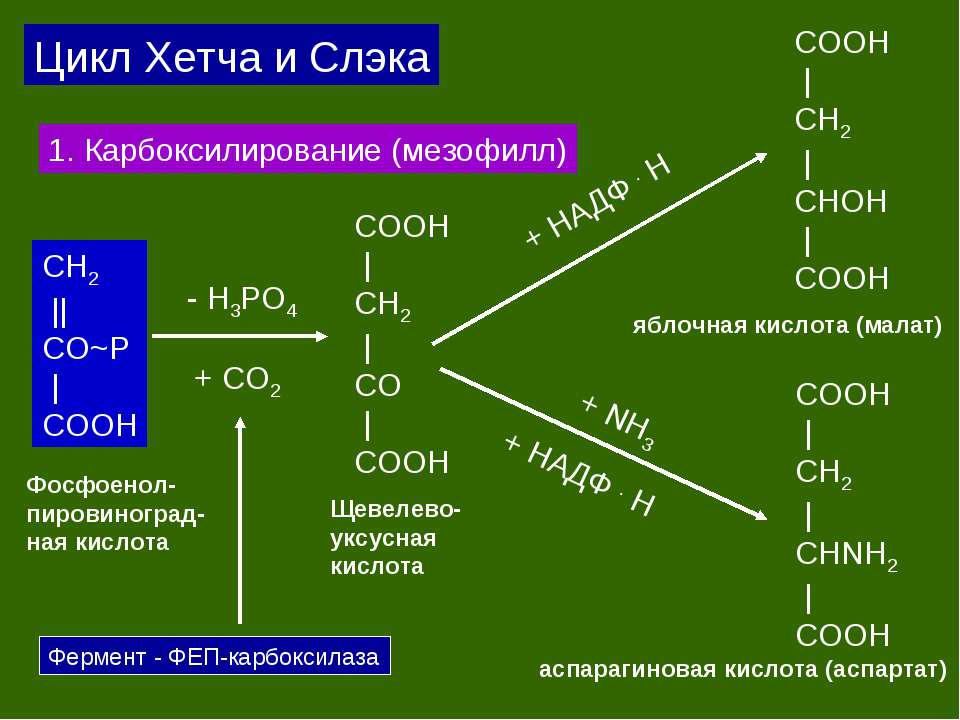 СH2 || CO~P | COOH + CO2 COOH | CH2 | CO | COOH Фосфоенол- пировиноград- ная ...