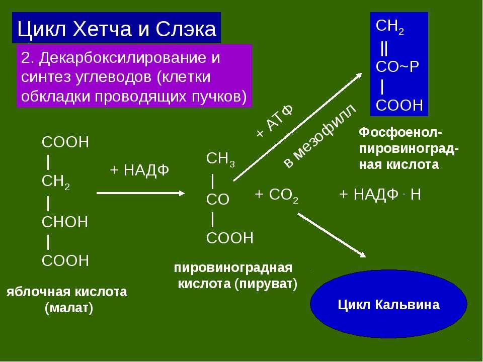 Цикл Хетча и Слэка 2. Декарбоксилирование и синтез углеводов (клетки обкладки...