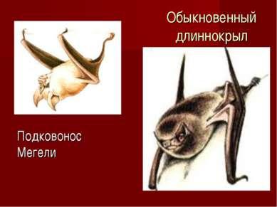 Обыкновенный длиннокрыл Подковонос Мегели